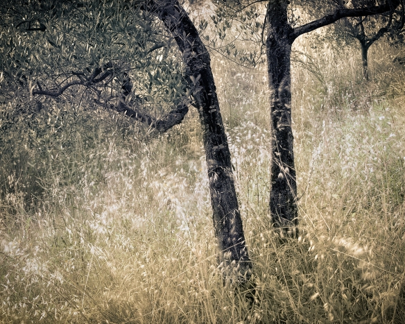 Olive Trees and Grass, Umbria.