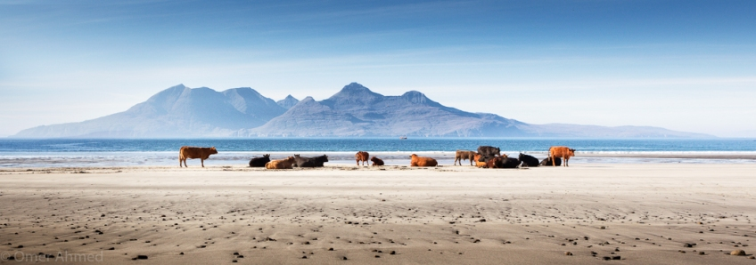 Cows at Laig Bay, Isle of Eigg